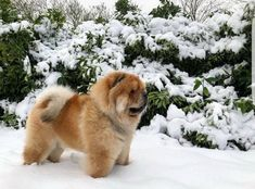 "So ""royal"" in appearance. Best Dogs For Families, Family Dogs, Lion Dog, Dog Cat, Dressage, Chinese Dog, Chow Chow Dogs, Like A Lion, Dogs And Puppies"