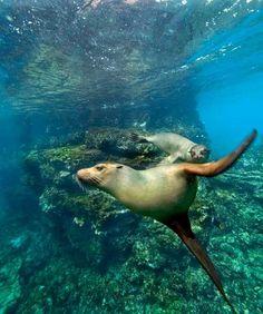 Leones marinos en las Islas Galápagos, Ecuador.