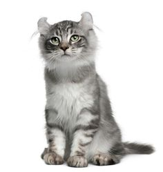 American Curl Kitten - Love the ears! American Wirehair, Kittens Cutest, Cats And Kittens, Cute Cats, Warrior Cats, American Curl Kittens, Fluffy Cat Breeds, Purebred Cats, Gatos Cat