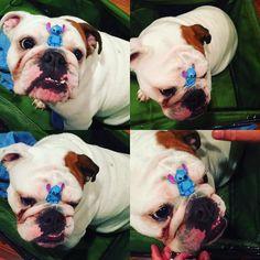 Balancing #stitch the #legominifigures in between my nose. I better get  for this  #lego #legostagram #legophotography #legominifigure #bulldog #bulldoglove #bulldoglife #bulldogsofinstagram #bullylove #bulldogloversofinsta #igbulldogs_norcal #squishyfacecrew #dogtraining #dogtricks #funnydog #theworldofbullies #doglover #dogoftheday #cuteface #dog #cutepuppy #legoaddict #latepost #legomaniac #legolover #instagram #nerdy  #legoforever by muffinthemenace