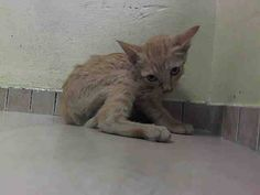 SAFE! TO BE DESTROYED 8/22/14 ** BABY ALERT! ONLY 10 WEEKS OLD! Sam interacts with the observer, appreciates attention, is easy to handle and tolerates all petting. ** Brooklyn Center  My name is SAM. My Animal ID # is A1010957. I am a male org tabby and white domestic sh mix. The shelter thinks I am about 10 WEEKS old.  I came in the shelter as a STRAY on 08/18/2014 from NY 11368. Group/Litter #K14-190655.