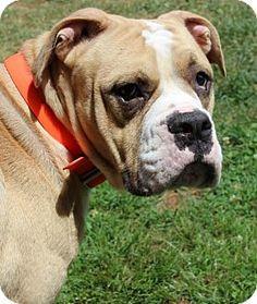 Waynesville, NC - Mastiff/Pit Bull Terrier Mix. Meet Khan, a dog for adoption. http://www.adoptapet.com/pet/13618629-waynesville-north-carolina-mastiff-mix