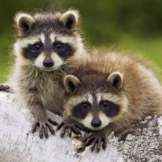Image from http://animal-backgrounds.com/files/Raccoon/The-cute-raccoon-iPad-wallpaper.jpg.