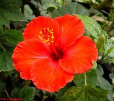 Lule e kuqe