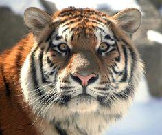 Lief tijgertje !