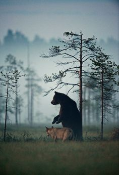 """A rare friendship developed between a gray wolf and brown bear."" - Imgur"