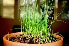 Plant chives in a pot outside kitchen Growing Herbs Indoors, Growing Vegetables, Herb Garden, Garden Plants, Types Of Herbs, Fresh Herbs, Planting Flowers, Canning, Outdoor Decor