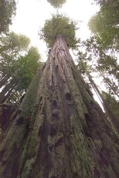 The Most Amazing Trees in the World, The Tallest Tree in the World – Hyperion Redwood - 115.61 m (379.3 ft)❦http://PhilosBooks.com❦