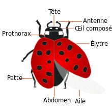 Coccinellidae — Wikipédia