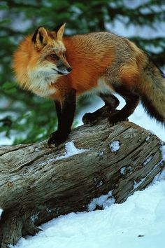 Hello, I am a fox. I am a wild animal. As cute and friendly as I seem, I DON'T WANT TO BE YOUR PET! If you domesticate foxes like me, how many of us will end up in a shelter? How many will be put down after a short, miserable life in a kennel? How much will you breed us to suit your inane purposes, until we can't breathe, like the poor pug? Please, I implore you, if you love foxes, let us be free! We are happier in the wild.