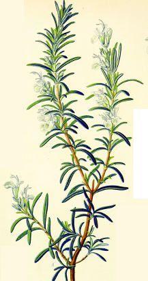 rosemary flower illustration - Google Search