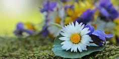 Wildflowers, Wild Flowers, Daisy, Violet, White, Yellow