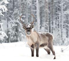 Doe, A Deer, A Female Reindeer: The Spirit of Mother Christmas