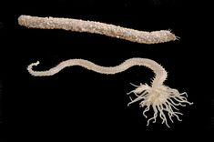 Collection: Cornell Collection of Blaschka Invertebrate Models; Common Name: Spaghetti Worm; Blaschka Number: 341 ...