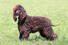 Medium size, brown hypoallergenic Irish Water Spaniel dog standing on grass. Spaniel Breeds, Spaniel Dog, Spaniels, Wheaten Terrier, Medium Sized Dogs, Medium Dogs, Low Shedding Dogs, Best Hypoallergenic Dogs, E Dublin