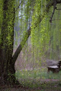 weeping willow -- these beautiful trees grow near water...and symbolize peace and tranquillity.