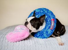 MaggieLovesOrbit on Instagram: http://ift.tt/2lQo7EB Orbit's spay is scheduled for Wednesday.  Thank you @petrecoverycollars for sponsoring her #donutpillow I'm less stressed now. . Waking up from surgery is stressful.  If Orbit were wearing a #coneofshame she'd be groggy and bumping into the walls of the crate.  Also cones amplifies sounds.  So w/out me there she'll probably be under a bit of stress.  That's why I'll be providing the vet with this #kongcushion collar instead of the cone…