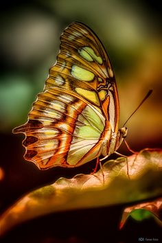 Photograph butterfly portrait by Volker Hesse on Butterfly Pictures, Butterfly Frame, Butterfly Painting, Butterfly Kisses, Butterfly Wings, Flying Flowers, Butterflies Flying, Beautiful Butterflies, Types Of Insects