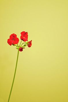 red geranium...will forever remind me of my grandfather!