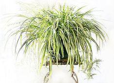 Csüngő csokrosinda (Chlorophytum comosum) Chlorophytum, Plant Leaves, Herbs, Garden, Flowers, Outdoor, House, Plants, Bulgur