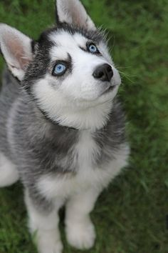 I love huskies with big blue eyes.