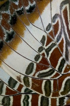 Charaxes underwing detail photography by:  Darrell Gulin