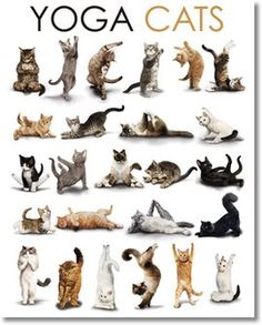 Google Image Result for http://assets.gbposters.com/images/gbposters-com/main_product_image_drop_shadow/9350/26561/MP1326-YOGA-cats.jpg%3F1321847636