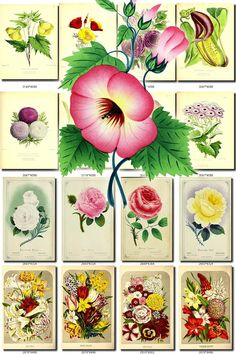 FLOWERS-121 Collection of 240 vintage images Eschscholtzia  Stork