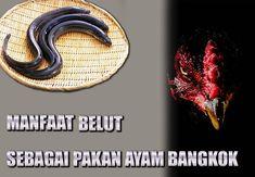 belut sebagai makanan ayam bangkok aduan Game Fowl, Live Casino, Bangkok