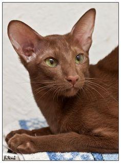 oriental cat http://www.kittyinny.com/