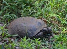 "gopher tortoise: In an attempt to correct former injuries to the species, Florida has made this long suffering native its ""State Tortoise"". Not to be outdone, Georgia bestowed the title of ""State Reptile"" on all gopher tortoises, complete with all the recognition and privileges which are attached to that esteemed honorarium."