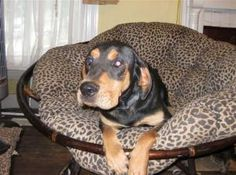 ALABAMA ~ meet Jethro a neutered 2y/o #adoptable Black & Tan #Coonhound #dog in Ohatchee. He's always ready for playtime but as you can see he will settle down in the most comfortable spot in the house if he is allowed when playtime is over. He is great with other dogs and cats. If your house is full of activity he will fit right in. He is  microchipped & UTD shots ---all ready for his forever home. #Adopt Jethro thru Hopes Rescue p 256-453-2130  ~ shelly@bamalegal.com.