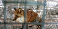 STOP USING REAL FUR: Pajar Canada, Woolrich, Fleischer Couture
