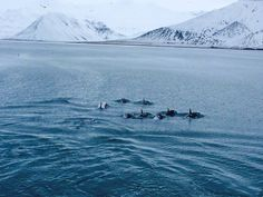 The Pods of Iceland #orcas photo by Abi Patterson