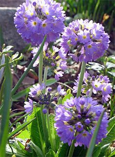Shade loving plants.      Primula