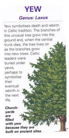 Sacred celtic tree - Yew