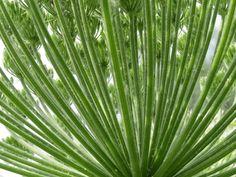 Berenklauw (Heracleum sphondylium)