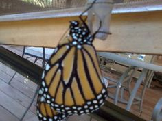 Fresh new butterfly, still hanging on chrysalis