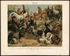 Antique-Print-CHICKEN-ROOSTER-HUHNER-BREEDS-Meyers-1897