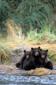 """""""Three grizzly bear cubs wait for the mother while she fishes for salmon at Katmai National Park in Alaska Picture: Steven Kazlowski / Barcroft Media"""" Grizzly Bear Cub, Bear Cubs, Polar Bear, 3 Bears, Baby Bears, Amor Animal, Mundo Animal, Cute Baby Animals, Animals And Pets"""