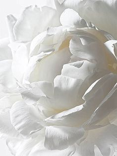 The perfect white peony, by Andrew McCaul