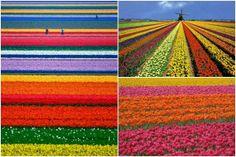 Campos de Tulipanes, Keukenhof, Holanda