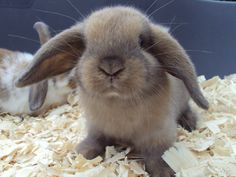lop bunnies | Bunnies For Sale! - G & E Bunnies!Hobby Breeders of Mini Lop Rabbits.