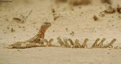 An amazing photo showing an Egyptian Uromastyx (u. aegyptia) and her hatchlings. Photo taken by Karan Soni
