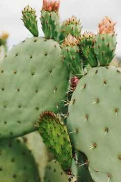 Indoor Gardening Quick, Clean Up, And Pesticide Free - Make Your Own Prickly Pear Cactus Cactus Rose, Prickly Pear Cactus, Cactus Cactus, Indoor Cactus, Green Cactus, Cactus Decor, Cacti And Succulents, Planting Succulents, Planting Flowers