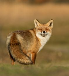 beautiful-wildlife:  Happy Fox by Nils Poldervaart