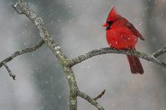 cold cardinal by Kristina Johnson