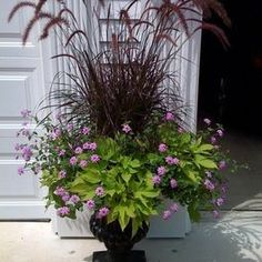 Absolutely love purple fountain grass and have used it many times. Need more!: