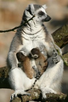 Twin Ring-tailed Babies Born at Durrell Wildlife Conservation Trust.
