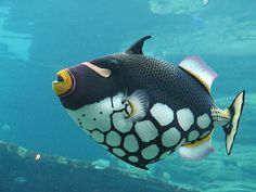 Clown #triggerfish